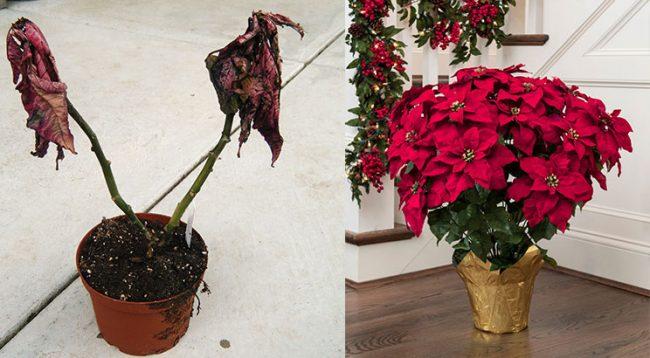 Doni që lulja e Krishtlindjes të rezistojë edhe pas festave, ja 4 sekrete që duhet të dini për të