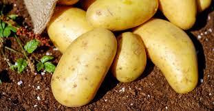 Rritet çmimi i patates, kjo pritet te ndodhe ne vijim