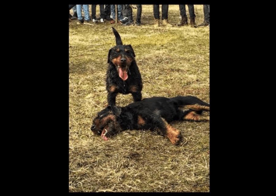 Luftërat me qen s'ka kush i ndal, në Rahovec një e tillë u zhvillua deri në ngordhje