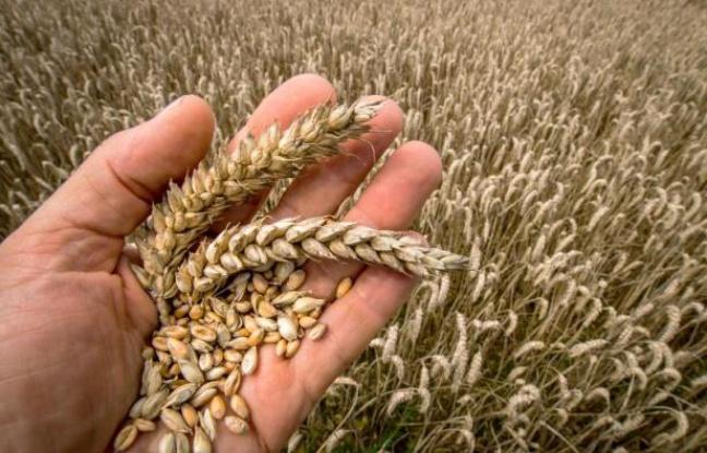 Synohen 20 mijë hektarë më shumë grurë për këtë vit, ekspertët të shqetësuar me gjendjen në bujqësi