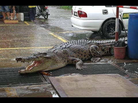 Krokodilët 'pushtojnë' rrugët e Australisë