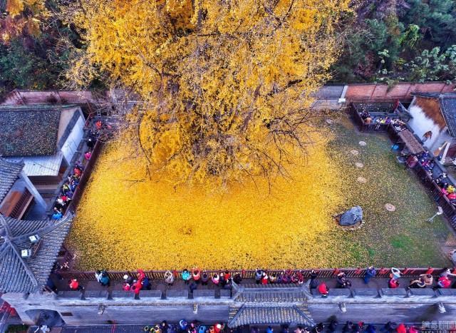 Kjo pemë 1400 vjeçare në këtë qytet të Kinës ka gjethet e arta
