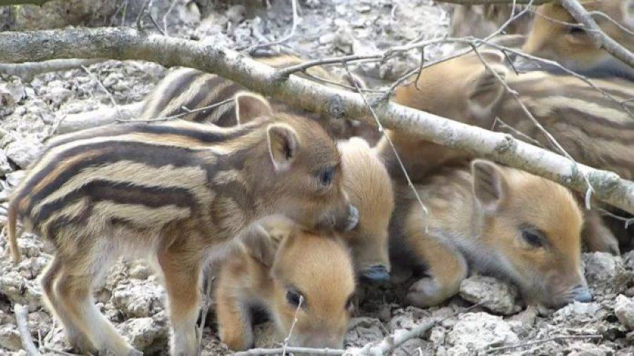 Këlyshë të sapolindur të derrit të egër në Valbonë