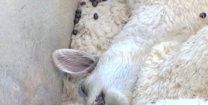 Ariu në Lipjan i mbyti 74 dele
