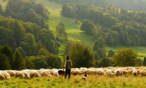 Qentë e bariut mbysin ujkun në Dragash