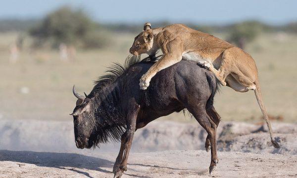 """""""Vallja e vdekjes"""": Antilopa në dyluftim me luanët e uritur"""