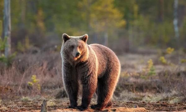 Profesori kroat nesër do të vendos për 'fatin' e ariut në Prizren