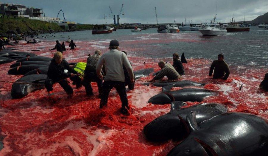 Vrasja e qindra balenave skuq bregdetin e Ishujve Faroe