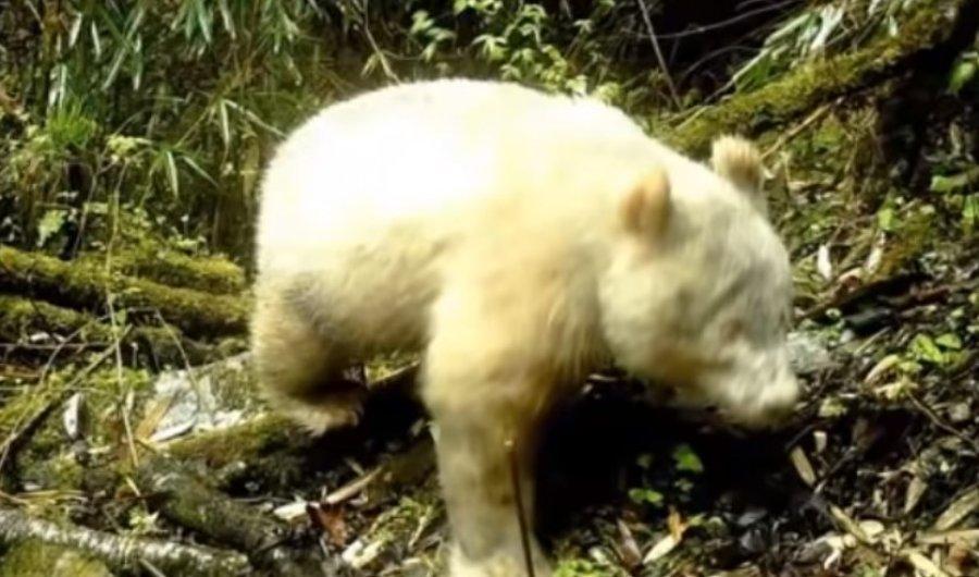 Xhirohet për herë të parë panda e bardhë në ambient të egër