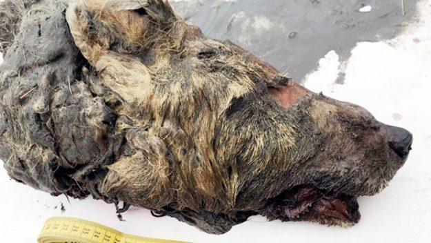 Siberi, akulli ka ruajtur kokën e ujkut për 40.000 vite