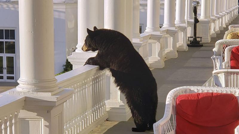 Një ari shfaqet në verandën e një hoteli