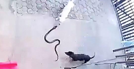 Qentë vetëflijohen për të shpëtuar beben nga gjarpri