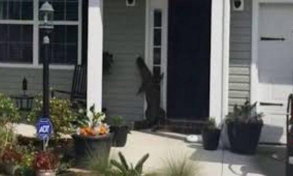 Aligatori kafshon gruan, pasi e 'vizitoi'' në shtëpinë e saj