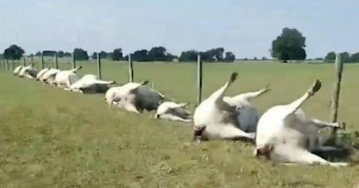 Rrufeja ka mbytur 23 lopë, goditi rrethojën metalike afër së cilës po qëndronin