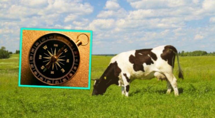 Pse lopët kthejnë kokat nga veriu ose jugu, derisa hanë