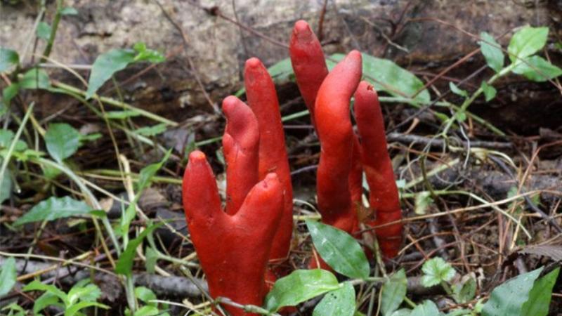 Kjo është kërpudha më vdekjeprurëse në botë