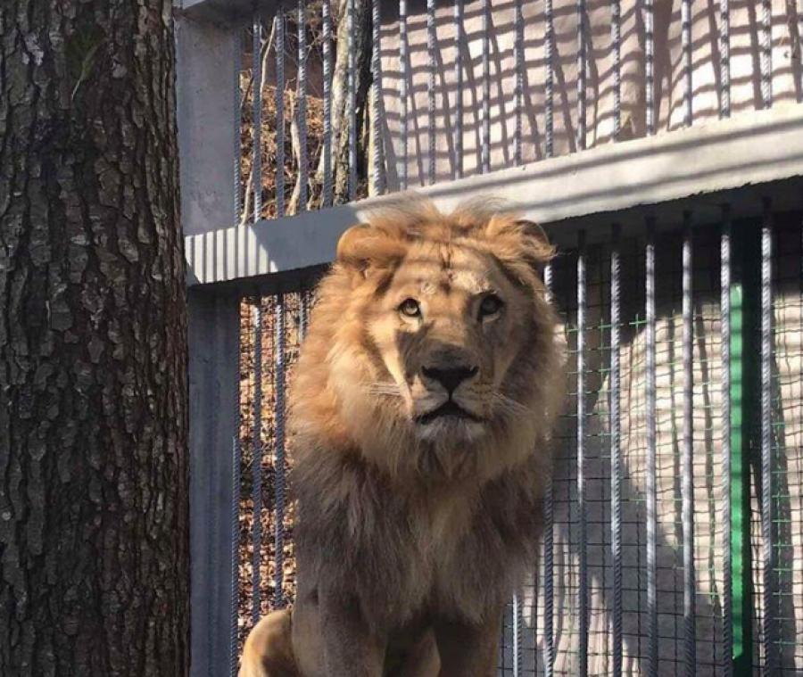 Luani i cili po mbahet i mbyllur në kafazin e një restoranti në Gjilan, dyshohet se është kontrabanduar