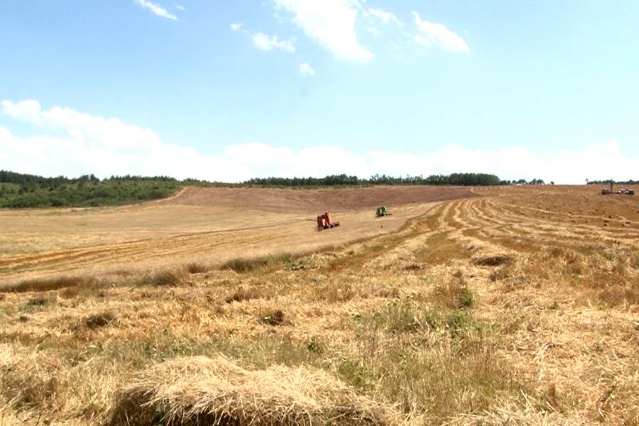 Vazhdon trendi i rënies së mbjelljes së grurit