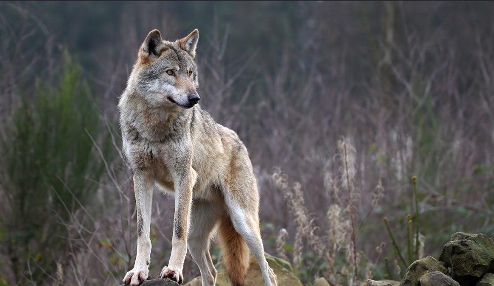 Ia sulmoi të birin 2-vjeç, babai detyrohet ta mbyt ujkun pa kurrfarë arme (Video)
