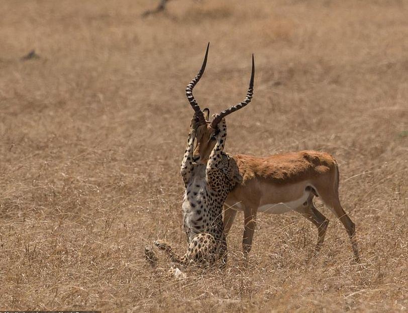 Foto të pabesueshme të impalës që i reziston tufës së gepardëve në rezervatin në Kenia