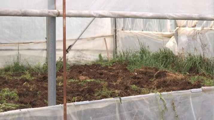 Bujqit ankohen se i ftohti i fundit ua prish të mbjellat