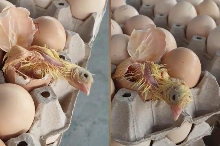 Derisa po rregullonte mallin në supermarket, nga veza doli një zog