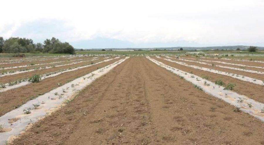 Mbi 30 mijë euro dëme nga pandemia, fermeri nga Rahoveci në prag të falimentimit