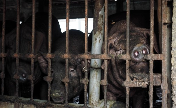 Si rrezikojnë pandeminë e re të gripit të derrit në Kinë