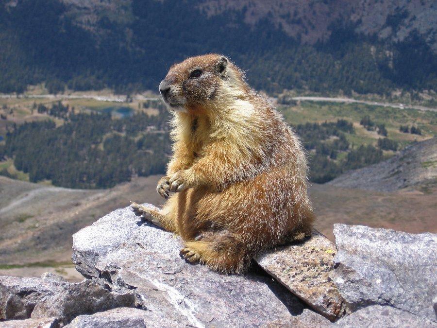 Dy vëllezër infektohen me murtajë pasi hëngrën mishin e marmotit