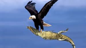 Shqiponja kap peshkaqenin dhe fluturon mbi plazh