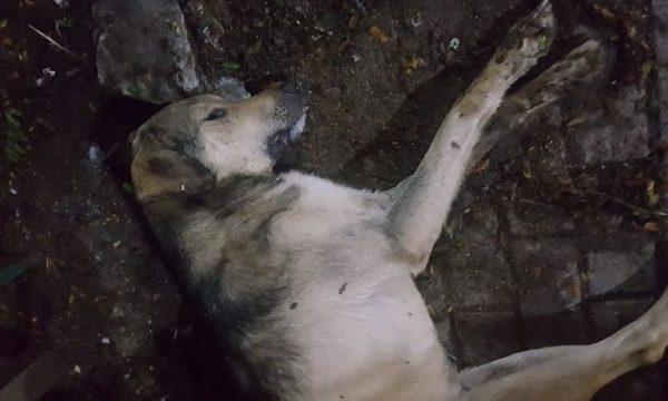 Dyshohet se qentë endacakë në Prishtinë po helmohen qëllimshëm