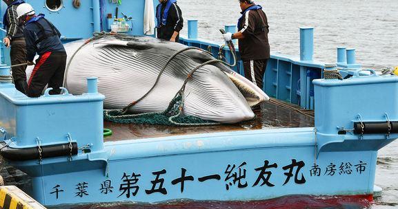 120 balena do të vriten në Japoni teksa vendi nis sezonin e kontestuar të gjuetisë komerciale