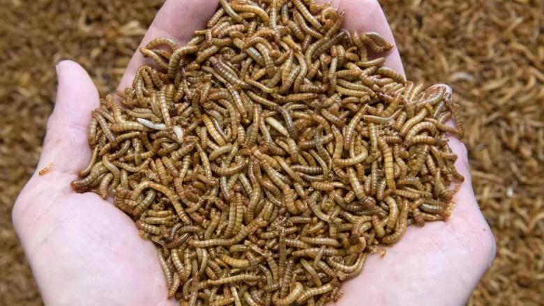 BE-ja aprovon insektin e parë si ushqim: Mund të përdoret për hamburger, biskota dhe proteina