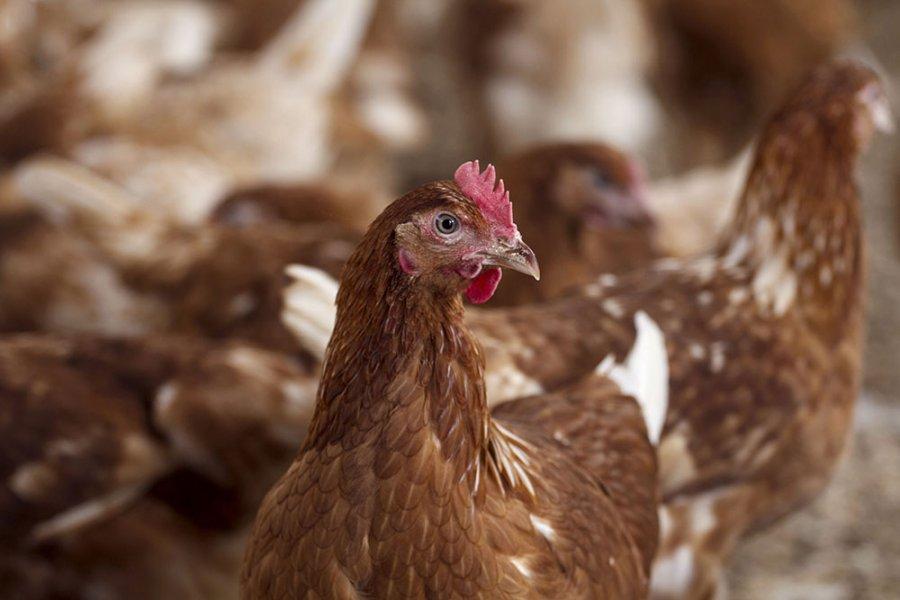 Asgjësohen fermat e pulave të infektuara me grip