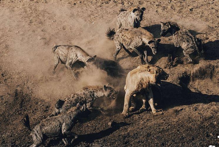 Imazhe të pabesueshme të betejës së luanit me tufën e 30 hijenave, për 'të drejtën' e ushqimit