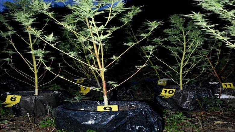 Kaçanik, arrestohen dy persona, u zunë duke kultivuar bimë narkotike